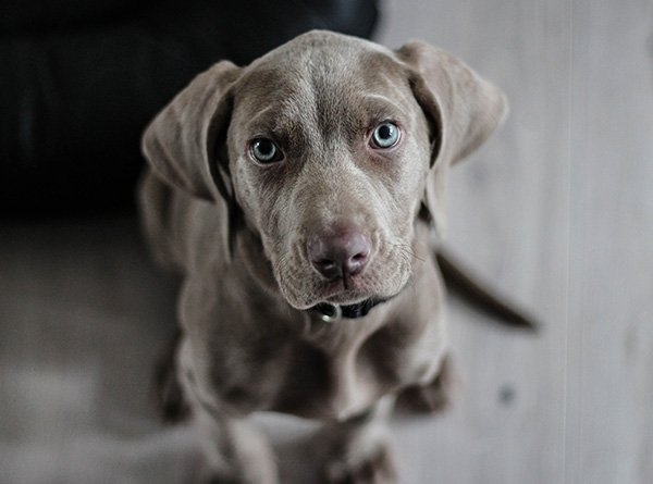 A cute grey puppy with blue eyes