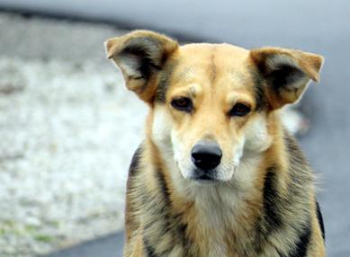 Golden doggy